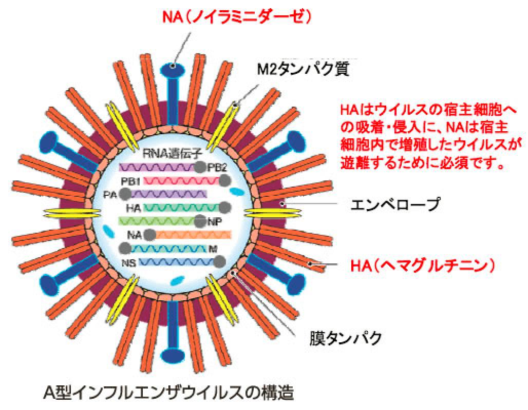 感染 期間 インフルエンザ
